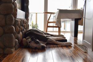 Dog Laying On Hardwood Floors